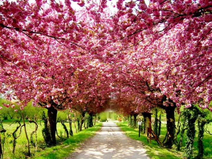 cherry blossom for blog post